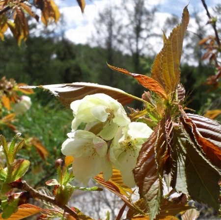 緑の桜 御衣黄ロール