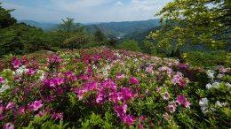 The Azalea of Ozu Tomisuyama Park