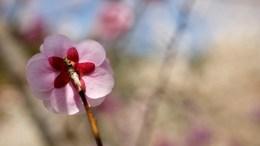 Kogesawa Bairin Plum Blossom
