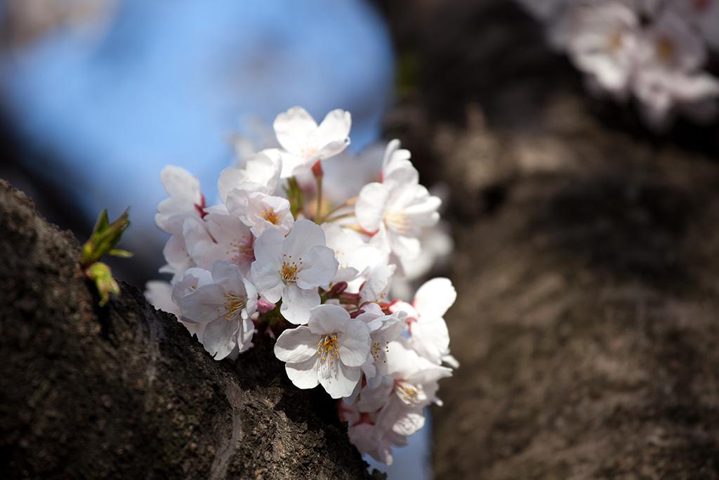 Asukayama Koen (The Sakura Guide)