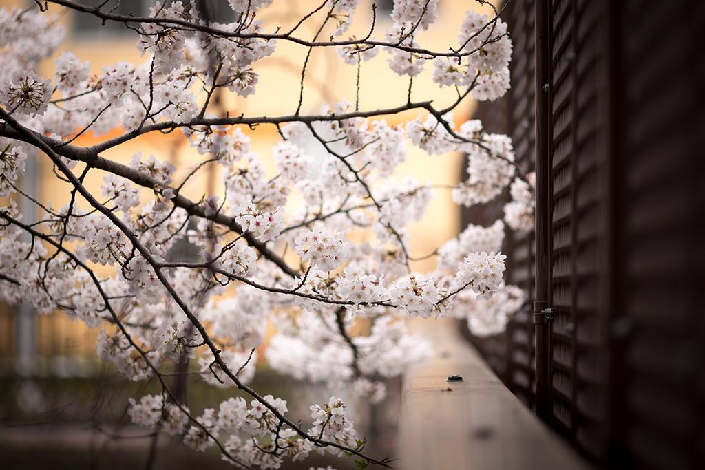 Gokoku-ji (The Sakura Guide)