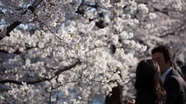 Kasai Rinkai Koen (The Sakura Guide)