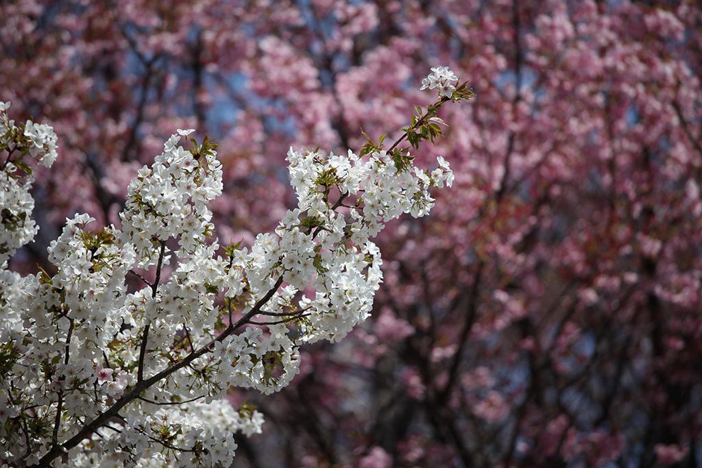 Koishikawa Korakuen (The Sakura Guide)