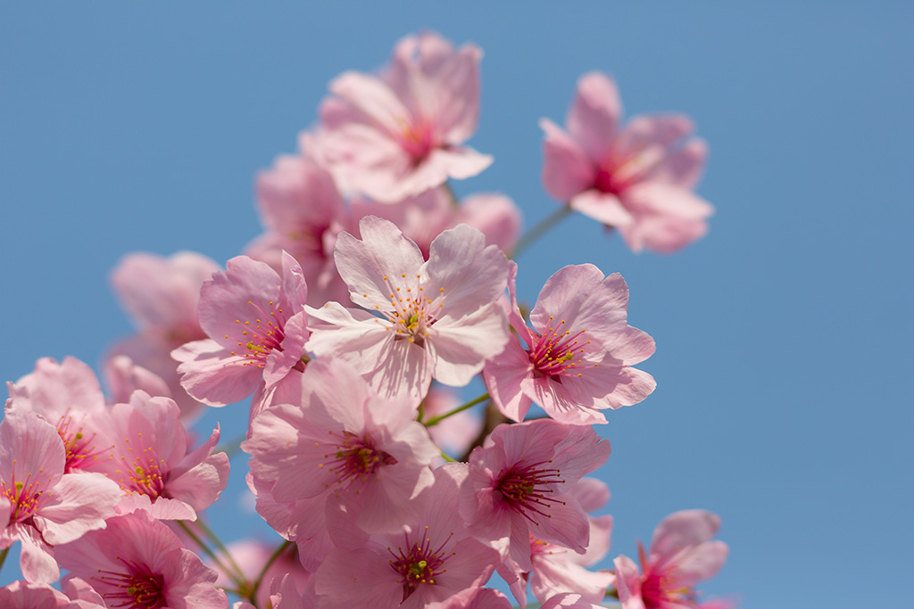 Nakano Boulevard (The Sakura Guide)