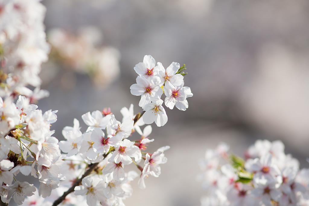 Yoyogi Koen (The Sakura Guide)