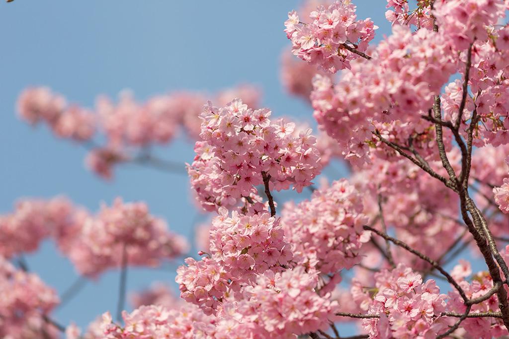 Happo-En (The Sakura Guide)
