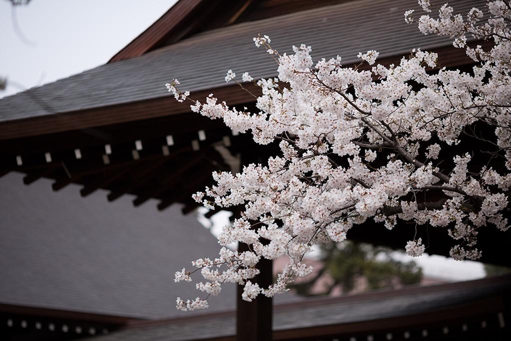Shiba Koen (The Sakura Guide)