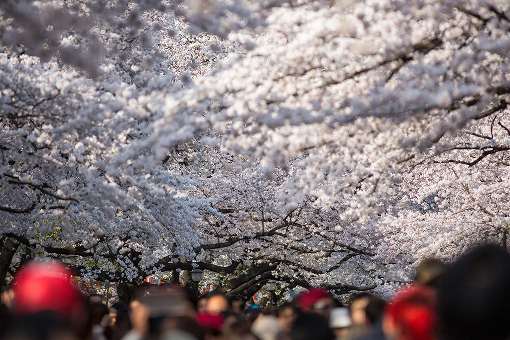 Ueno Koen (The Sakura Guide)