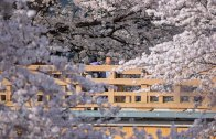 Tokyo Best Sakura Spot : Shakujii Kawa – 石神井川