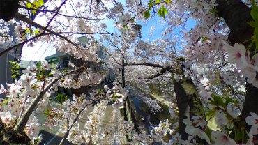 Inside a Sakura