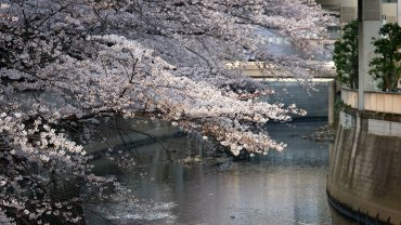 Sakura_at_Edogawa_Koen