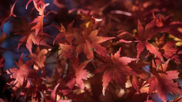 Red momiji leaves