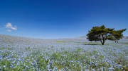 Hitachi Seaside Park Nemophila