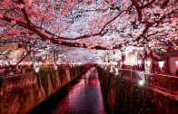 The Cherry blossoms of Naka-Meguro by Night