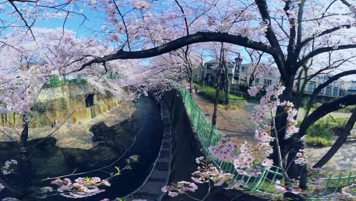 [360 Video] The Cherry blossoms of Shakujii Kawa