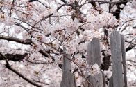 Yanaka Cemetery Cherry blossoms