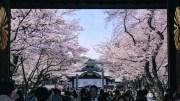 The sakuras of Yasukuni jinja