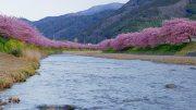 2019 Kawazu-zakura Cherry Blossoms