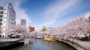 Fukagawa Sakura Matsuri