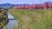Onnahori River Sakura
