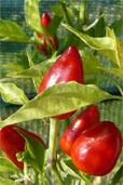 Calypso Red (Bildquelle: Henry)