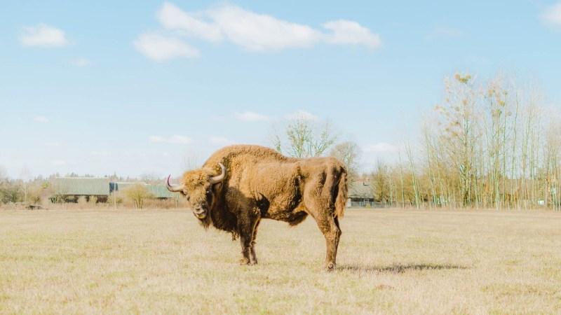 bison_teremiski
