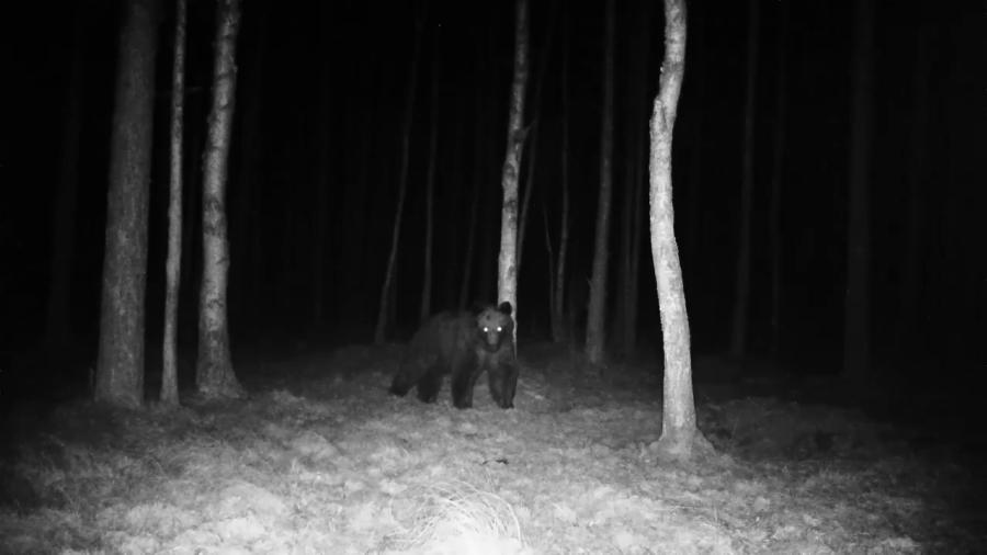 Białowieża Forest bear