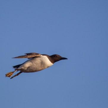 Lomvie fra Helgoland 3