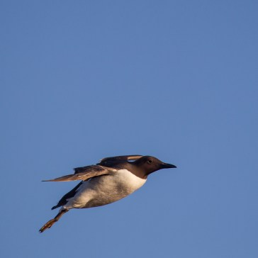 Lomvie fra Helgoland 4