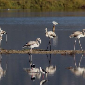 Flamingoer fra S´Albufera ved Alcūdia 9-10