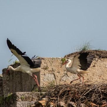 Stork fra sletten omkring Trujillo d. 20 april. Extremadura 2