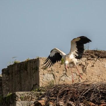 Stork fra sletten omkring Trujillo d. 20 april. Extremadura 3