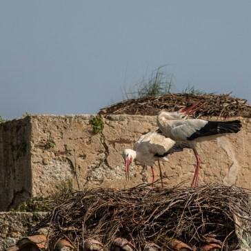 Stork fra sletten omkring Trujillo d. 20 april. Extremadura 5