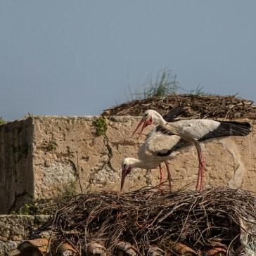 Stork fra sletten omkring Trujillo d. 20 april. Extremadura 6