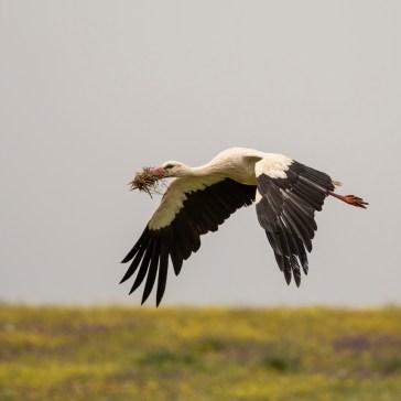 Stork fra sletten omkring Campo Lugar d. 22 april. Extremadura 2