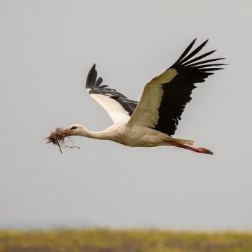 Stork fra sletten omkring Campo Lugar d. 22 april. Extremadura 1