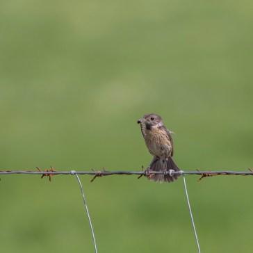 Stortstrubet Bynkefugl (hun) fra sletten omkring Belen d. 23 april. Extremadura 3