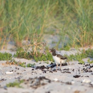 Strandskade stranden ved Kattegatkysten ( flyndersø ) med unger. Juli 2018. 3
