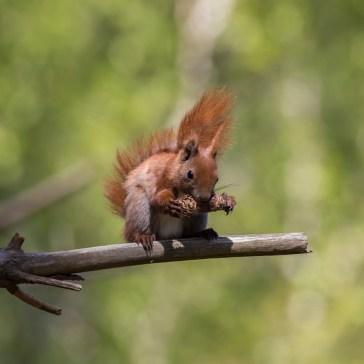Egern fra Gåsemosen (Rørvig) Uge 19. 2