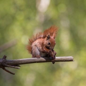 Egern fra Gåsemosen (Rørvig) Uge 19. 3