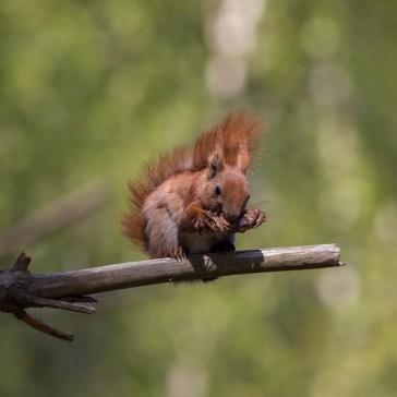 Egern fra Gåsemosen (Rørvig) Uge 19. 4