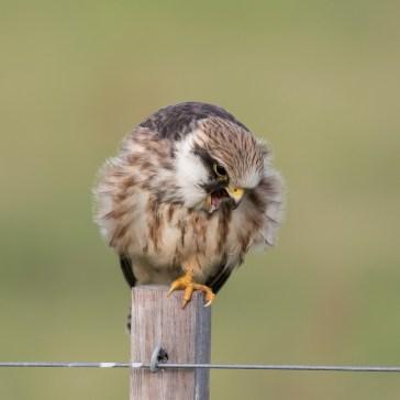 Aftenfalk ( Falco vespertinus )den sad og vaske sig, fløj lidt rundt og satte sig igen og så gylpede den, det har jeg aldrig set før. Vejrhøj. d. 16 aug. 2019. 1