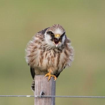 Aftenfalk ( Falco vespertinus )den sad og vaske sig, fløj lidt rundt og satte sig igen og så gylpede den, det har jeg aldrig set før. Vejrhøj. d. 16 aug. 2019. 2