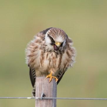 Aftenfalk ( Falco vespertinus )den sad og vaske sig, fløj lidt rundt og satte sig igen og så gylpede den, det har jeg aldrig set før. Vejrhøj. d. 16 aug. 2019. 3