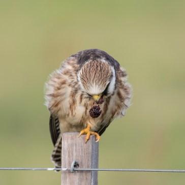 Aftenfalk ( Falco vespertinus )den sad og vaske sig, fløj lidt rundt og satte sig igen og så gylpede den, det har jeg aldrig set før. Vejrhøj. d. 16 aug. 2019.4