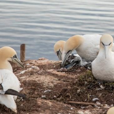 Ny generation af Sule fra Helgoland. uge 25. juni 2019. 1