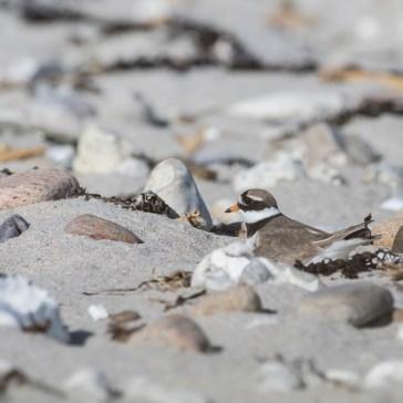Stor Præstekrave stranden ved Kattegatkysten (flyndersø) maj 2020. 2