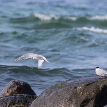 Fjordterne fra stranden ved flyndersø Uge 19. 2021. 4