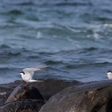 Fjordterne fra stranden ved flyndersø Uge 19. 2021. 6