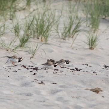 En aftentur på stranden, vi sad i strandkanten, og lige pludselig var der gang i den, - 2 præstekravefamilier var ikke enige om hvem der boede hvor. Det ene par havde 4 unger og det andet par lå på æg. Rørvig strand uge 23. 2021. 2